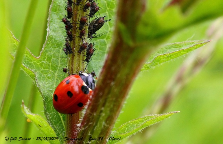 Coccinelle 7points-IMG_2721B_filtered-30D+obj55